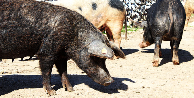 img_casa_nostra_porcs_embotits_raima_animals